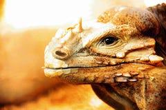 Giant lizard chameleon. Close up giant lizard in zoo Stock Photo