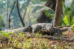 Giant Lizard Stock Images