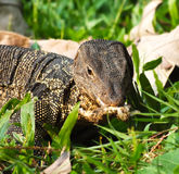 Giant Lizard digging for an egg. In the wood of Thailand Royalty Free Stock Photos