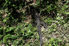Giant Lizard monitor reptile walking in the jungle royalty free stock image