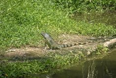 Giant lizard reptile near pond Stock Images