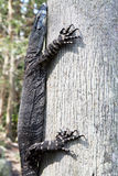 Giant lizard on a tree Stock Image