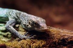 Giant lizard Stock Photos