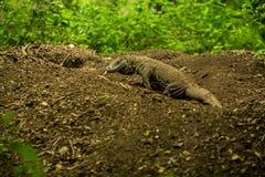 Giant lizard close on Komodo Island, Indonesia Stock Images