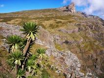 Giant Lobelia, Ethiopian Highlands. Giant Lobelia and Abuna Yosef massif in the background, mountains surrounding Lalibela Stock Photo