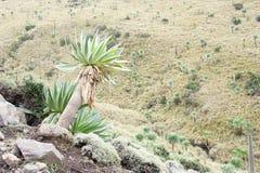 Giant lobelia near Chiro Leba village, Simien mountains Royalty Free Stock Image