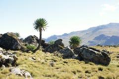Giant lobelia on ridge tour in Simien mountains royalty free stock photos