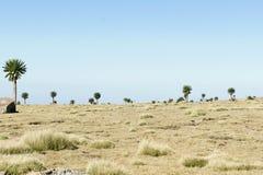 Giant lobelia on ridge tour in Simien mountains stock image