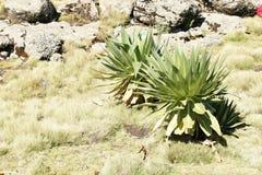 Giant lobelia on ridge tour in Simien mountains Royalty Free Stock Images
