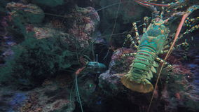 Giant Lobster in Sea. stock video footage