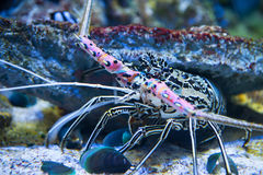 Giant lobster, underwater world Royalty Free Stock Photos