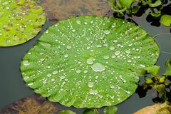 Lotus flower leaf with water drops on Pokhara lake Stock Photos