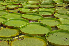 Giant lotus leaf Royalty Free Stock Photography
