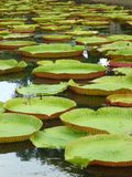 Giant lotus leaves. Giant water basin Stock Photography