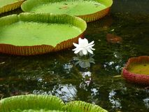 Giant lotus leaves. Giant water basin Stock Images