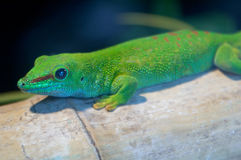 Giant Madagascar Day Gecko. A giant Madagascar day gecko photographed in a zoo royalty free stock photo