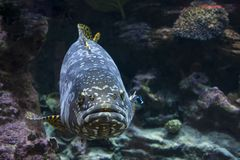 Giant malabar grouper fish. The Giant malabar grouper fish stock photography