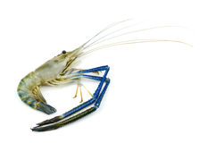 Giant malaysian prawn Stock Image