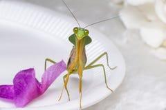 Giant Malaysian shield praying mantis Royalty Free Stock Photography