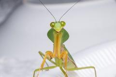 Giant Malaysian shield praying mantis Royalty Free Stock Images