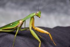 Giant Malaysian shield praying mantis Stock Photography