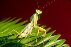 Giant Malaysian shield praying mantis Royalty Free Stock Image