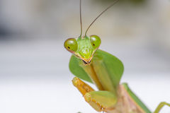 Giant Malaysian shield praying mantis. Rhombodera Basalis resting on a white polisterine plate Royalty Free Stock Images