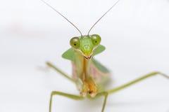 Giant Malaysian shield praying mantis Stock Image