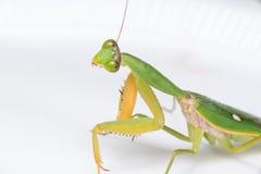 Giant Malaysian shield praying mantis Stock Photo