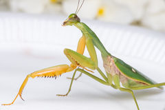 Giant Malaysian shield praying mantis. Rhombodera Basalis resting on a white polisterine plate Stock Images