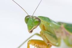 Giant Malaysian shield praying mantis Stock Photos