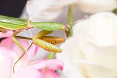 Giant Malaysian shield praying mantis Stock Images