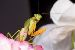 Giant Malaysian shield praying mantis. Rhombodera Basalis resting on a white and purple flower during the night Royalty Free Stock Image