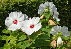 Giant mallow flowers. In the garden Royalty Free Stock Image