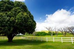 Giant mango tree near white fence. Beautiful landscape of south side of the Big Island of Hawaii. USA Royalty Free Stock Photo