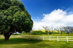 Giant mango tree near white fence. Beautiful landscape of south side of the Big Island of Hawaii. Stock Photos