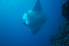 Giant manta ray Royalty Free Stock Images