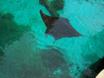 Giant Manta Ray. Aa wingspan of thirty feet and weighing in excess of 1000 pounds located in Atlantis in Nassau Bahamas Royalty Free Stock Photography