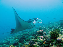 Giant manta ray. Swimming over coral reef in Maldives royalty free stock photo