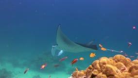 Giant Manta Ray Birostris Ocean Sea Marine Life. Giant Manta Ray Birostris Alfredi Elasmobranch swimming slowly underwater over reef in tropical blue ocean sea stock video