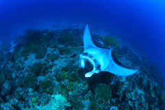 Giant manta ray. Floating underwater over tropical reef Royalty Free Stock Images