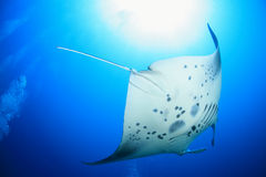 Giant manta ray Stock Photos