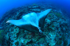 Giant manta ray. Floating underwater in the tropical ocean Royalty Free Stock Image