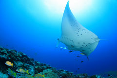 Giant manta ray. Floating underwater in the tropical ocean Stock Photography
