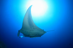 Giant manta ray. Floating underwater in the tropical ocean Royalty Free Stock Photo
