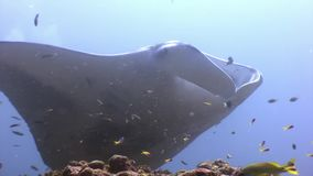 Giant Manta ray ramp fish on background of sun reflection underwater Maldives. Unique video footage. Abyssal relax diving. Natural aquarium of sea and ocean stock video footage