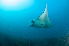 A giant manta ray swimming elegantly. A giant manta ray swimming gracefully over a reef accompanied by a school of fish Stock Photo