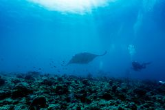 Giant manta ray swims over coral reef as divers and photographer watch. Giant manta ray, Manta birostris, swims over coral reef as divers and photographer watch Royalty Free Stock Photos