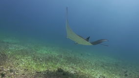 Giant Mantas Ray swim in blue sea search of food stock footage