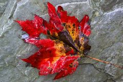 Giant Maple Leaf. Photo of autumnal giant maple leaf at Big Hunting Creek in the state of Maryland Stock Photo